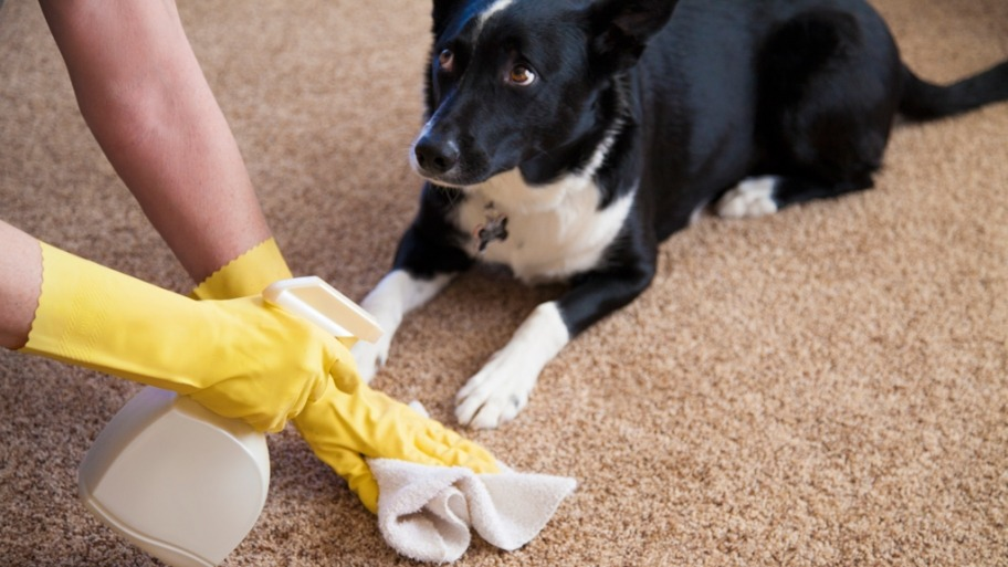 cleaning pet stain carpet