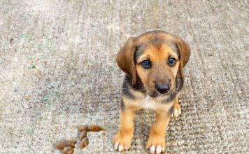 How To Get Dog Poop Out Of Carpet