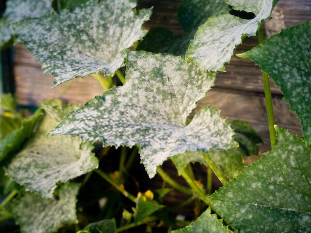 powdery mildew cucumber
