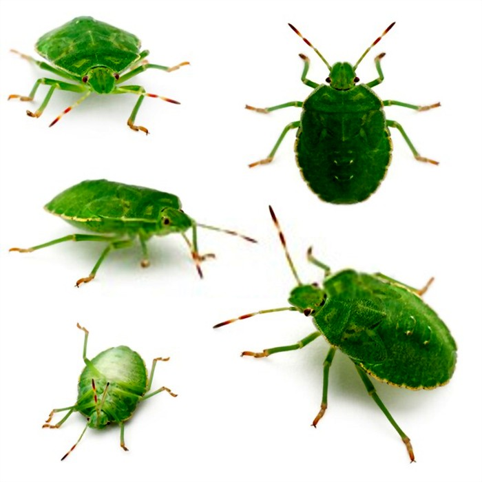 green shield bugs