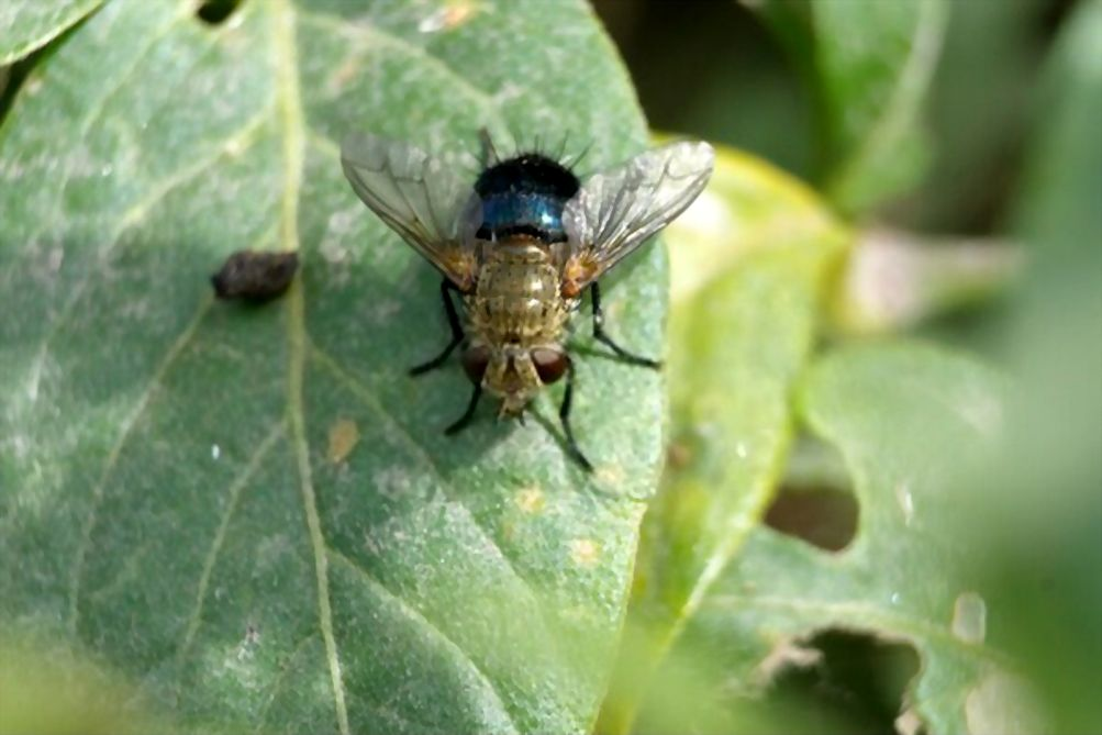 Tachinid fly on a leaf