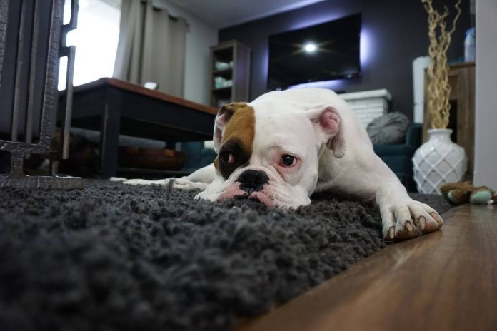how-to-get-pet-urine-smell-out-of-carpet