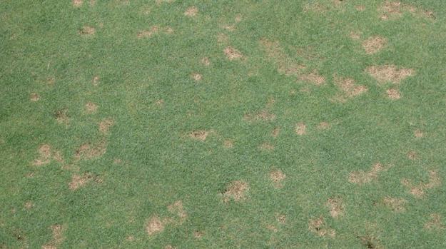 lawn diseases identification dollar spot